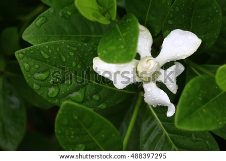 Crepe Jasmine or East Indian Rosebay in the morning after rain