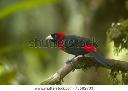 Crimson collared Tanager - stock photo