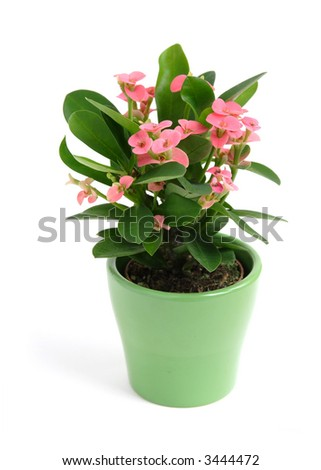 """crown of thorns"" young plant in a green pot, isolated"