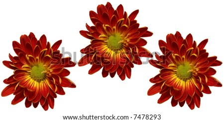 3 Crysanthemums isolated on white background