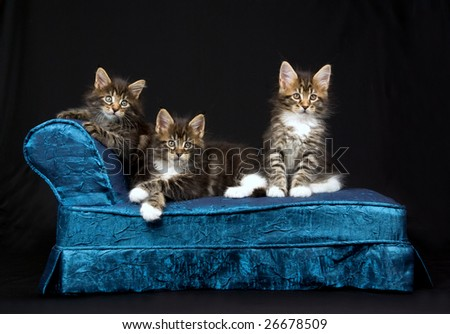 3 Cute and pretty Maine Coon kittens sitting on miniature mini chaise couch sofa on black background - stock photo
