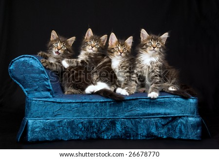 4 Cute and pretty Maine Coon kittens sitting on miniature mini chaise couch sofa on black background - stock photo
