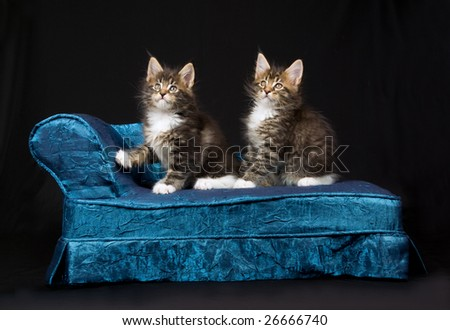 2 Cute and pretty Maine Coon MC kittens sitting on miniature blue chaise couch sofa chair, on black background - stock photo