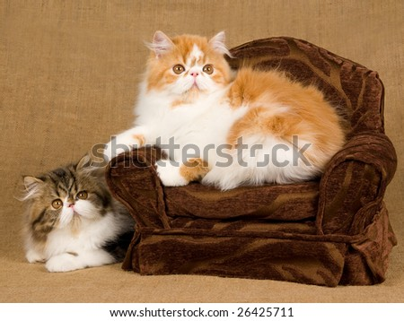 2 cute and pretty Persian kittens on miniature chair against hessian burlap background - stock photo