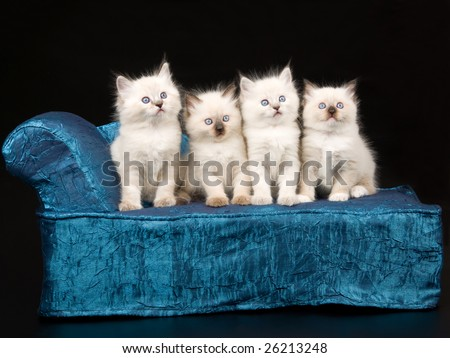 4 Cute and pretty Ragdoll kittens sitting on blue chaise couch sofa on black background - stock photo