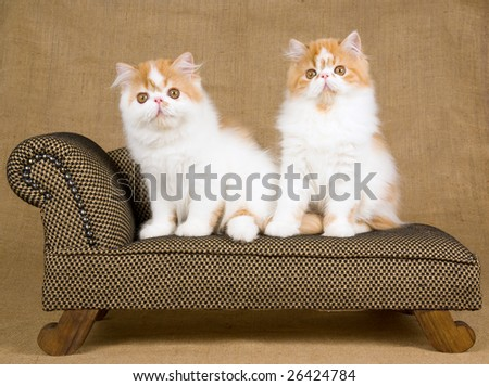 2 cute and pretty red and white Persian kittens sitting on miniature brown couch sofa chaise against hessian burlap background - stock photo