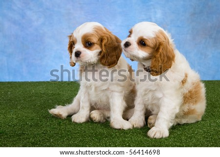 2 Cute Blenheim Cavalier King Charles Spaniel puppies on green lawn - stock photo