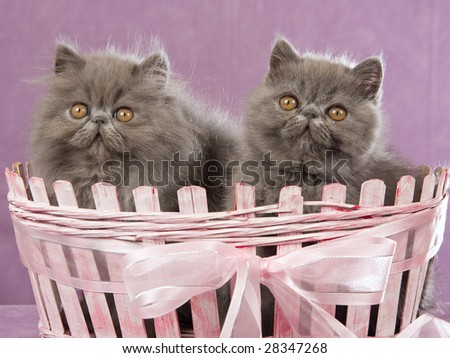 2 Cute blue Persian Exotic kittens in pink basket on lilac background - stock photo