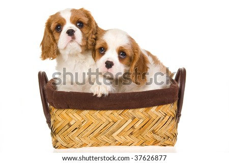 2 Cute Cavalier King Charles spaniel puppies in basket, on white background