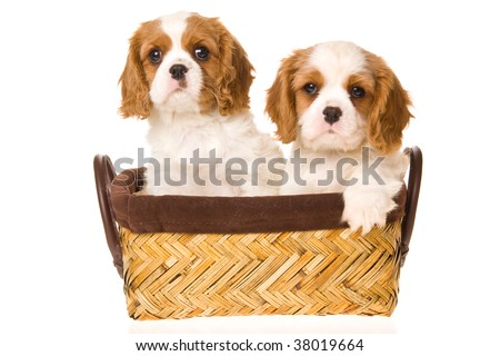 2 cute Cavalier King Charles Spaniel puppies in brown basket, on white background