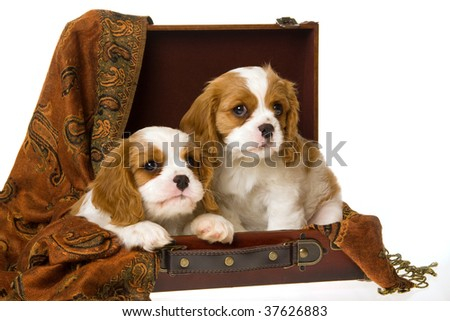 2 Cute Cavalier King Charles spaniel puppies in suitcase, on white background