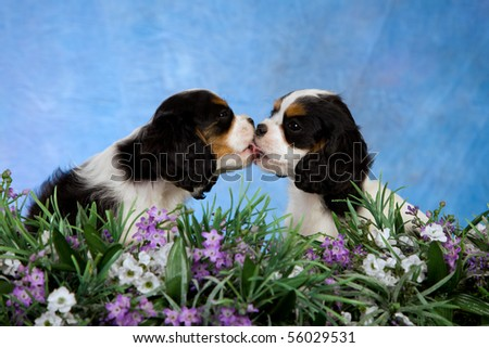 2 Cute Cavalier King Charles Spaniel puppies kissing - stock photo
