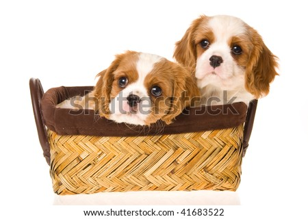 2 Cute Cavalier puppies in brown basket, on white background