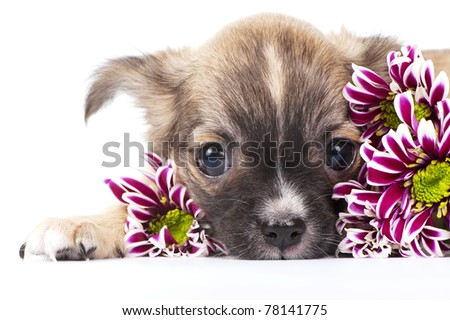 cute chihuahua puppy among chrysanthemums flowers close-up on white background - stock photo