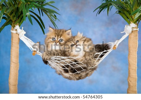 3 Cute Chinchilla Persian kittens in hammock - stock photo