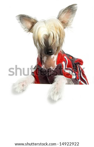 Cute Chinese Crested Dog holding white  board. - stock photo
