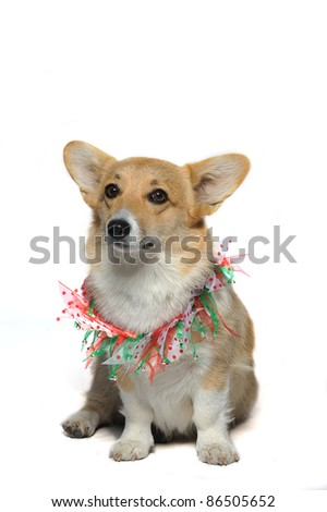 Cute dog wearing a colorful collar with bells sitting looking up puzzled - stock photo