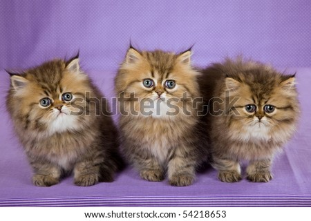 3 Cute Golden Chinchilla Persian kitten on purple background - stock photo