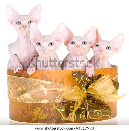 4 Cute hairless Sphynx kittens in vintage hat box, on white background