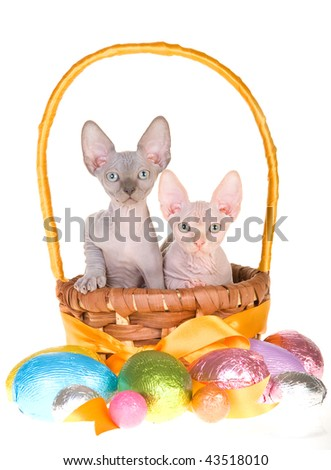 2 Cute hairless Sphynx kittens in yellow woven Easter basket, on white background