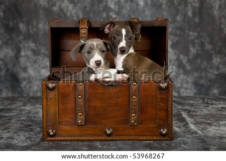 2 Cute Italian Greyhound puppies in wooden chest on charcoal mottled background