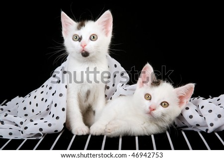 2 Cute kittens under polka dot fabric on striped b&w background