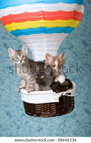 3 Cute LaPerm kittens in miniature hot air balloon - stock photo