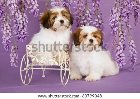 2 Cute Lhasa Apso puppies in wagon with Wisteria flowers