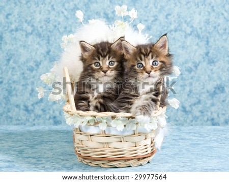 2 Cute Main Coon kittens sitting inside baby crib decorated with fur, flowers and ribbon - stock photo