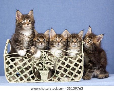 5 Cute Maine Coon kittens in a row, on blue background fabric