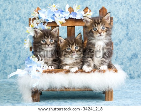 3 cute Maine Coon kittens in mini bench with blue flowers - stock photo