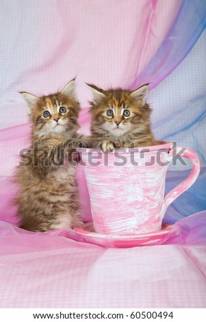 2 Cute Maine Coon kittens in pink cup on blue pink background - stock photo