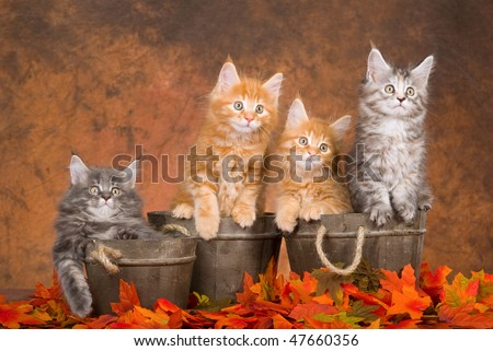 4 Cute Maine Coon kittens in wooden barrels on fall Autumn leaves - stock photo
