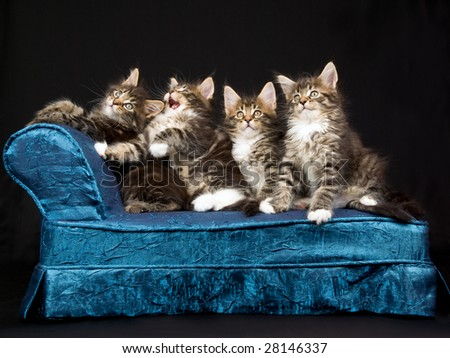 4 Cute Maine Coon kittens on miniature blue chaise couch sofa on black background - stock photo