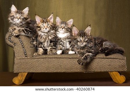 3 Cute Maine Coon kittens on miniature couch sofa chaise - stock photo