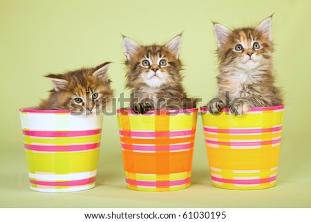 3 cute maine coon kittens sitting inside colorful pots on green background - stock photo