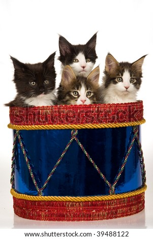 4 Cute Maine Coon kittens sitting inside festive drum, on white background