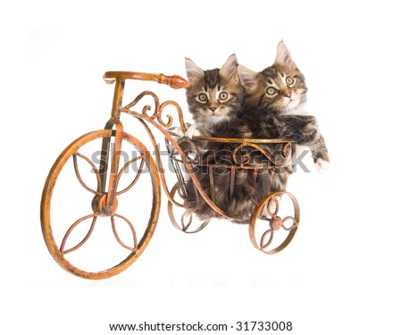 2 Cute Maine Coon kittens sitting inside miniature brown bicycle on white background - stock photo