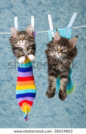 2 Cute Maine Coon kittens sitting inside socks hanging from washing line - stock photo