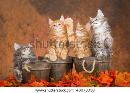 4 Cute Maine Coons kittens in wood barrels and Fall leaves - stock photo