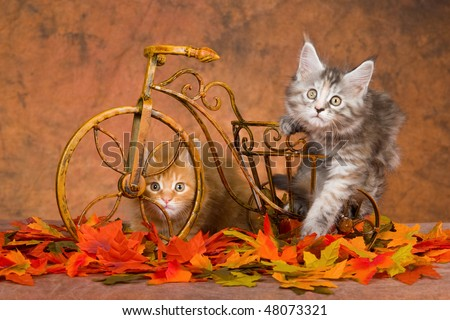 2 Cute Maine Coons kittens with mini bicycle and Fall leaves - stock photo
