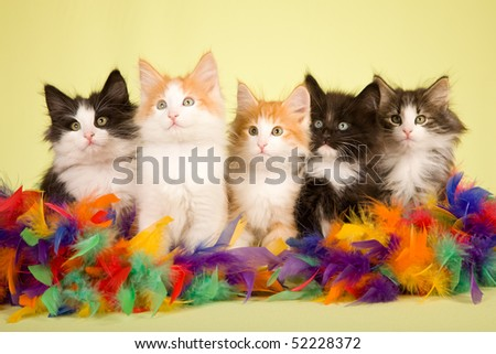 5 Cute Norwegian Forest Cat kittens with colorful feather boa on green background