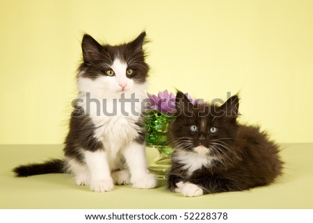 2 Cute Norwegian Forest Cat kittens with lotus flower in glass bowl on green background