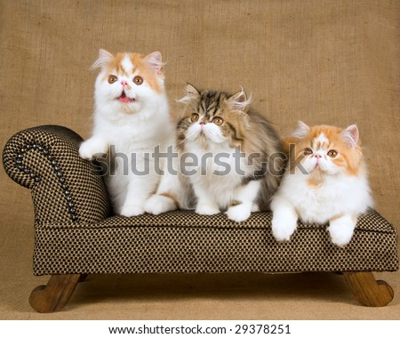 3 cute Persian kittens on miniature brown chaise couch sofa on burlap hessian background - stock photo