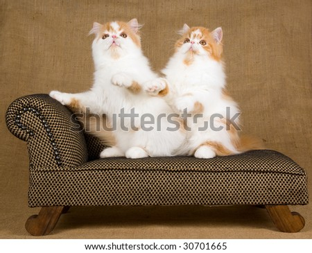2 cute Persian kittens red and white on miniature chaise couch sofa on hessian burlap background - stock photo