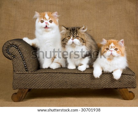 3 cute Persian kittens red and white sitting on miniature sofa chaise couch on hessian background - stock photo