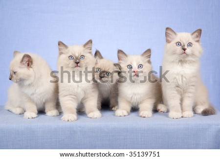 5 Cute Ragdoll kittens in a row, on blue background fabric