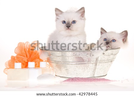 2 Cute Ragdoll kittens in bathtub with bubbles and soaps, on white background - stock photo