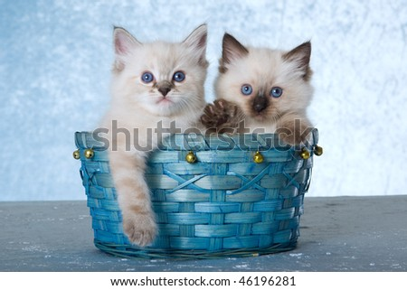 2 cute Ragdoll kittens in blue bell basket on blue background - stock photo