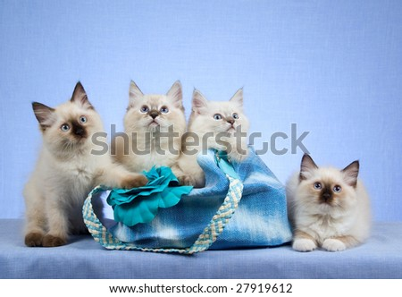 4 Cute Ragdoll kittens in blue handbag purse on blue background - stock photo